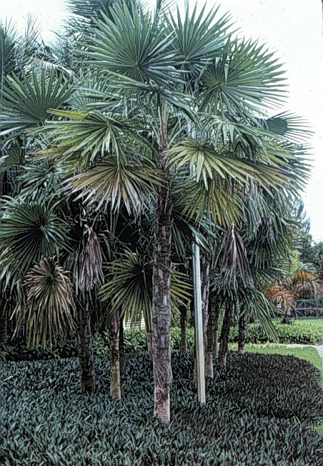 Coccothrinax photo